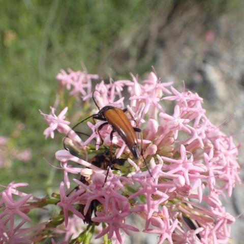 Coléoptère sur une fleur