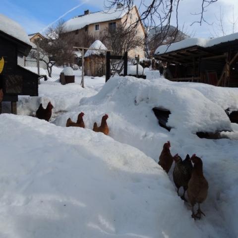 Les poules dans la neige de Mont-Dauphin